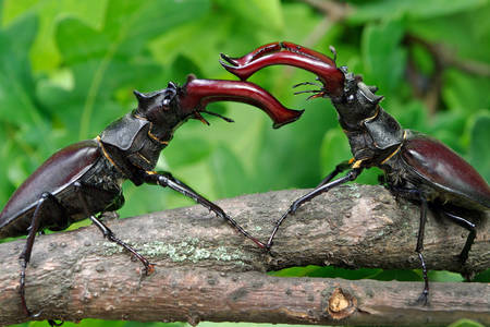 Stag beetles on a branch