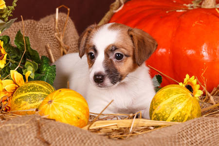 Jack Russell Terrier puppy with pumpkins
