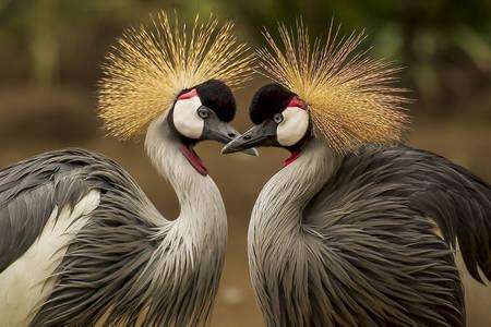 Koronowany żuraw
