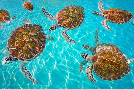 Byssa turtles