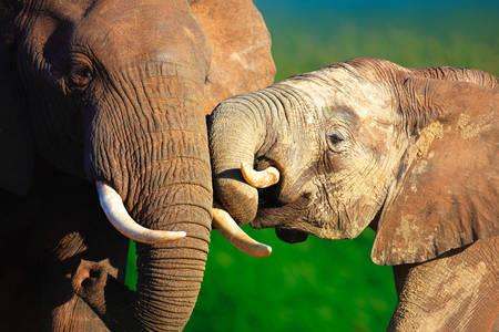 Slonovi