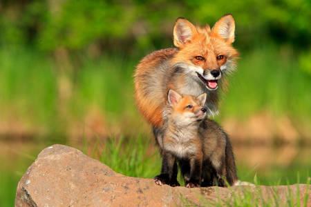 Líška s mláďaťom