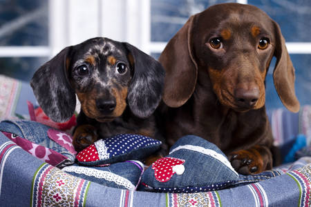 Dachshunds in a sunbed