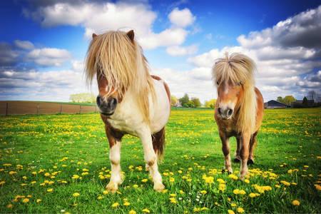 Shetlandští poníci na louce