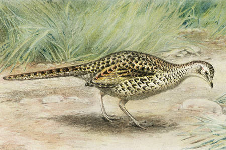Female ring pheasant