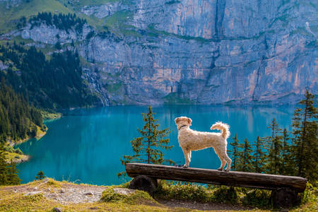 Dog near a mountain lake