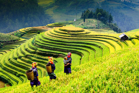 Harvest in rice fields
