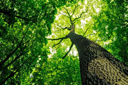 Šumski hrast