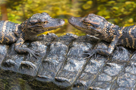 Alligator cubs