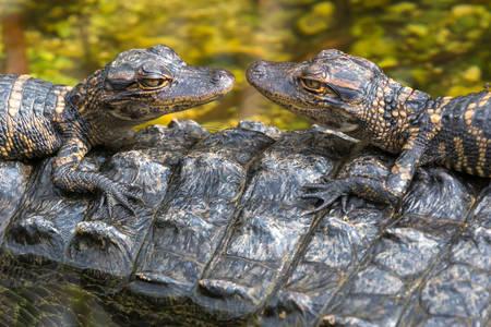 Mladunci aligatora