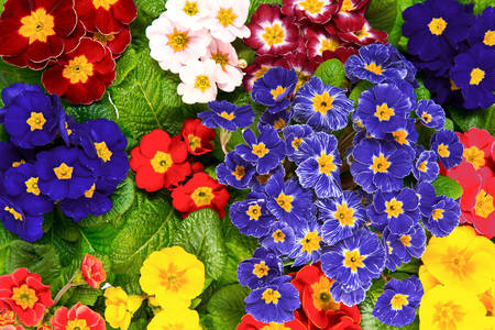 Colorful primroses