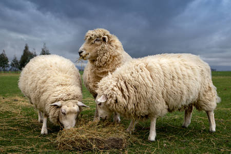 Sheep eat hay