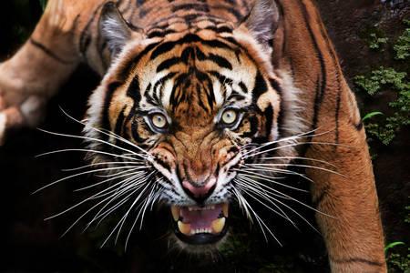 Tigre de Sumatra féroce