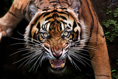 Tigru feroce Sumatra