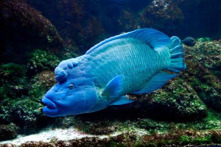Fish napoleon