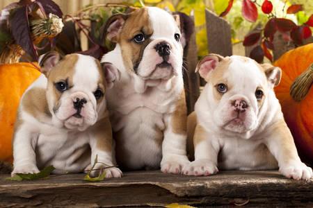 Bulldog kölyökkutyák