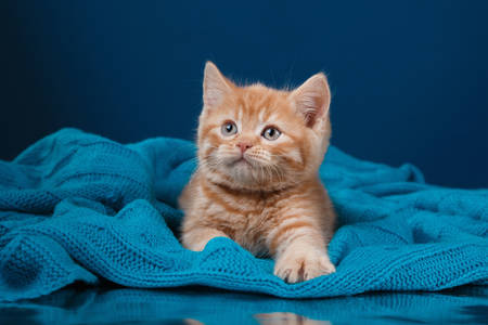 Gattino allo zenzero su sfondo blu