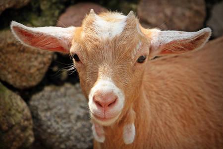 Ginger goat