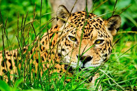 Jaguar în iarbă
