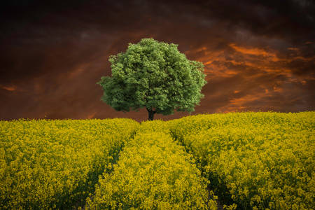 Tree on the rapeseed field