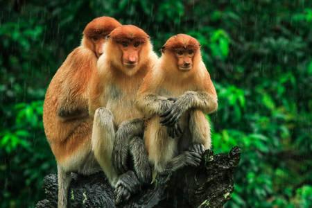 Κάλτσες μαϊμού