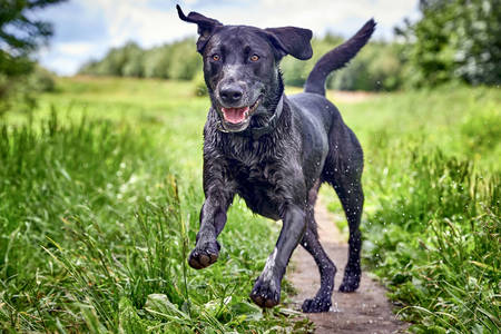 Cheerful running labrador