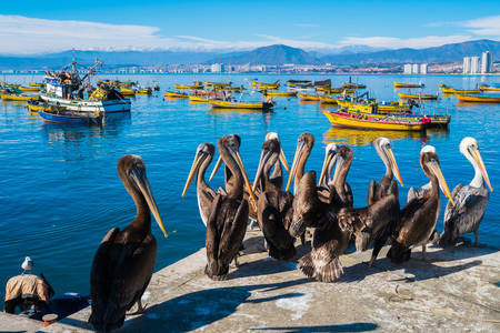 Пеликаны на пристани в Кокимбо