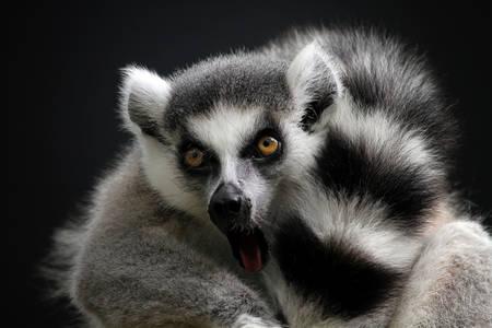 Lemur zblízka