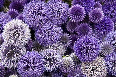 Cibule květiny