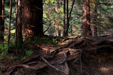 Koreni drveta