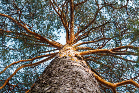 Árvore conífera com galhos interessantes