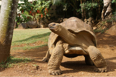 Obrie korytnačka