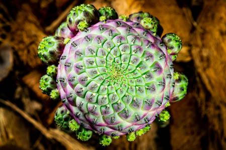Kaktus u krupan kadast