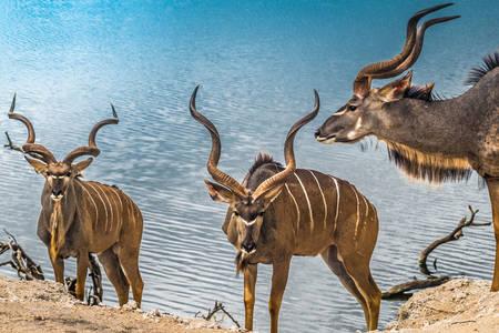 Koedoe antilopen