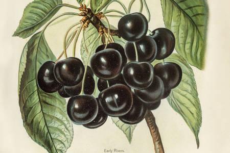 Ilustração de cerejas primitivas