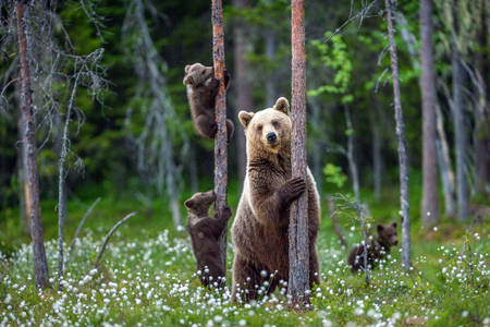 Family of brown bears in the forest