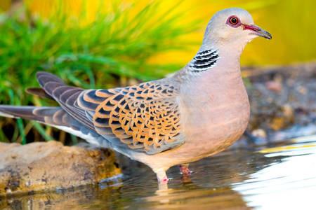 Common turtle dove