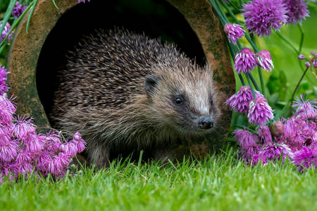 Hedgehog in the garden with flowers