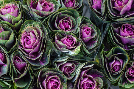 Flowering ornamental cabbage