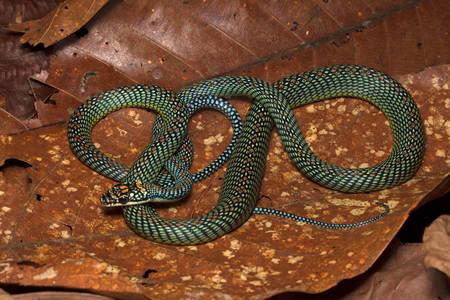 Chrysopelea paradisi