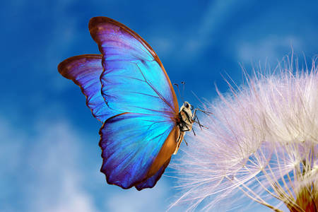 Morpho butterfly on dandelion