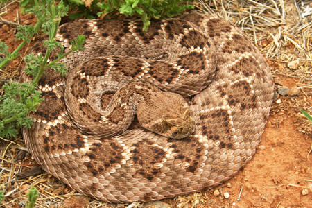 Гърмяща змия