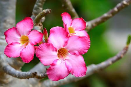 Adeniumblüten