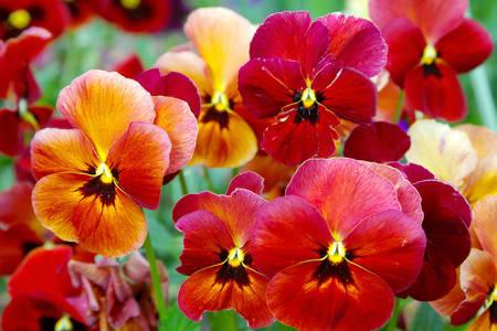 Pansi çiçekleri