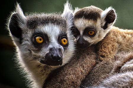 Mom with baby ring lemur