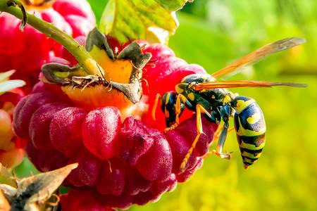 Raspberry wasp