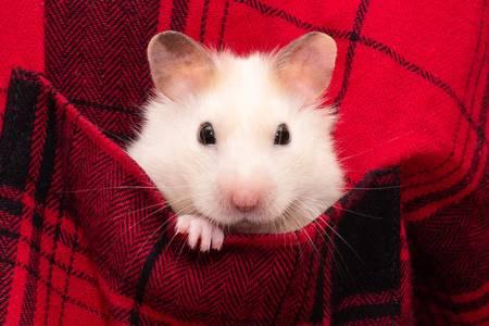 Hamster dans une poche de chemise à carreaux