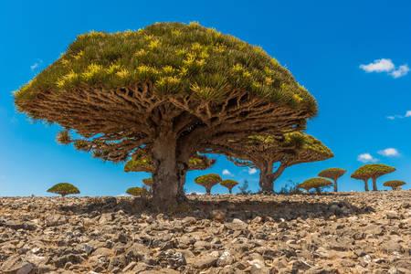Alberi di Dracaena sull'isola di Socotra