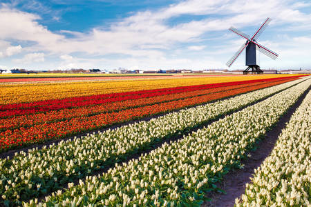 Windmill on the tulip field