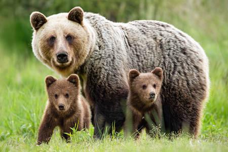 Είναι αρκούδα με μωρά